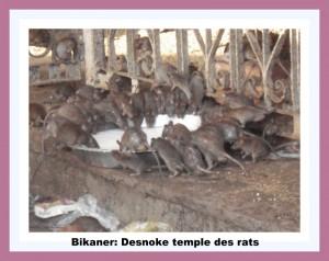 Bikaner Desnoke  -temple des rats